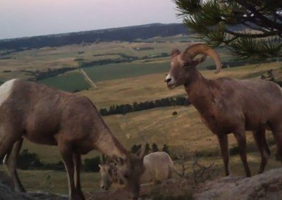 Nebraska Big horn sheep 2017